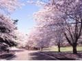 日本的樱花 (23)